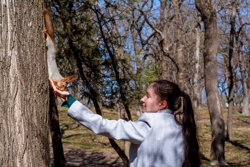 Écureuil pelucheux tenu par des griffes sur un arbre et des écrous de consommation de main de jeune fille en parc de station de v photos stock