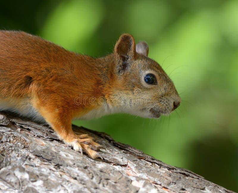 Écureuil pendant l'été photos libres de droits