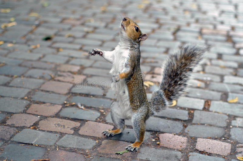 Écureuil recherchant photos libres de droits