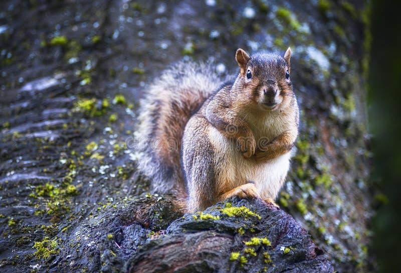 Écureuil regardant de retour l'appareil-photo photographie stock libre de droits
