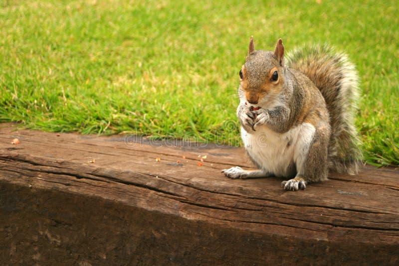 Écureuil rouge photo libre de droits