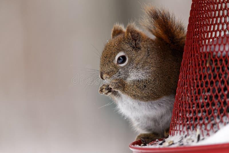 Écureuil rouge américain sur un conducteur image stock