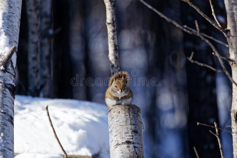 Écureuil rouge américain sur un tronçon images stock