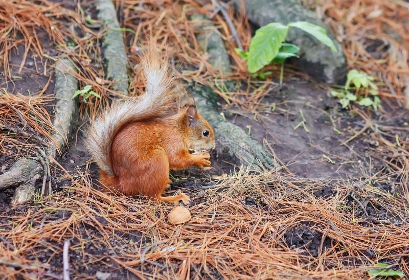 Écureuil rouge, dans la forêt mangeant un écrou photo libre de droits