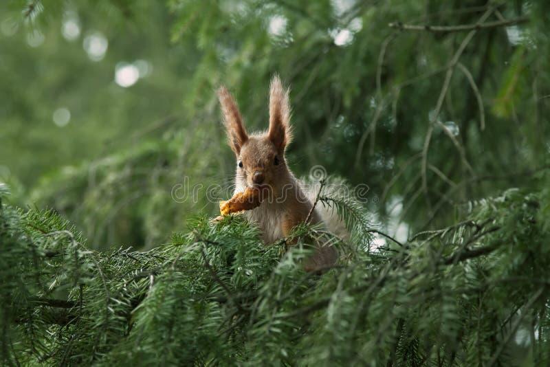 Écureuil rouge dans les branchements du sapin image libre de droits