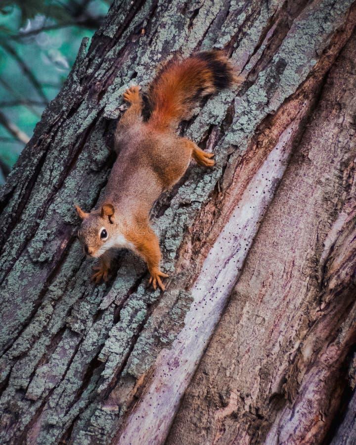 Écureuil rouge descendant l'arbre II image stock