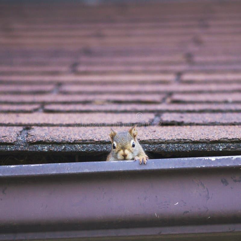 Écureuil rouge embêtant faisant le nid dans le toit ; image stock
