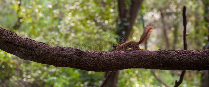 Écureuil rouge eurasien de bébé équilibrant sur la branche images libres de droits