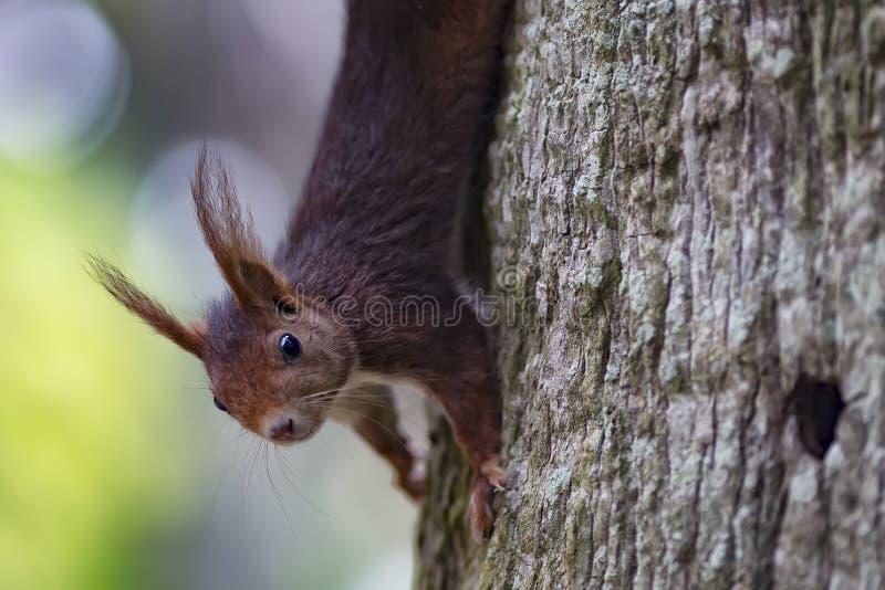 Écureuil rouge eurasien vulgaris de Sciurus, écureuil rouge images libres de droits
