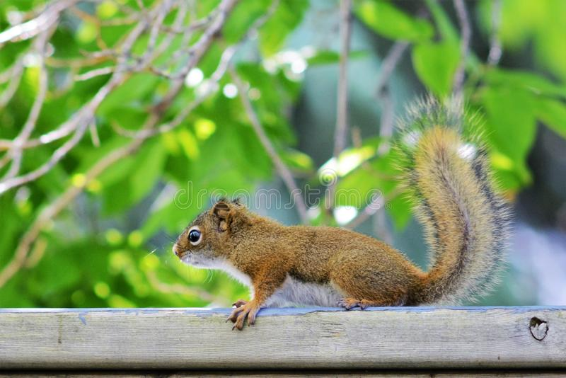 Écureuil rouge juvénile photographie stock libre de droits