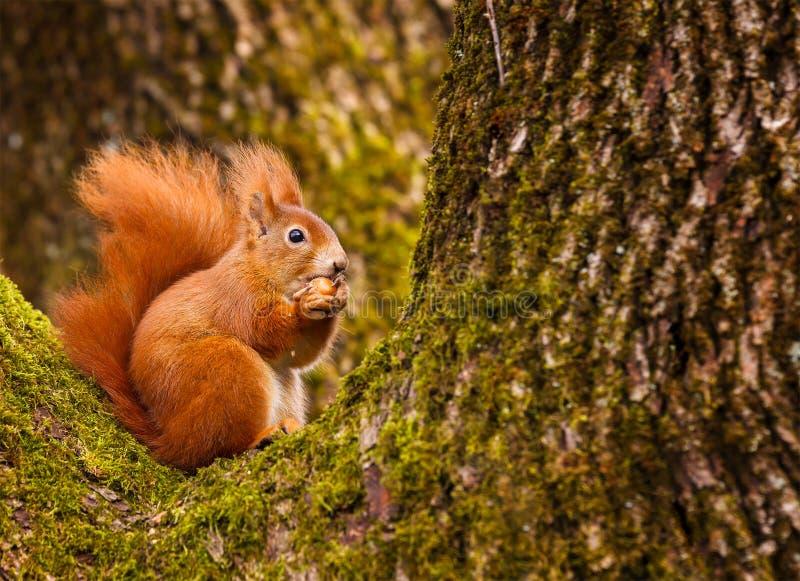 Écureuil rouge mâchant sur une noisette images stock