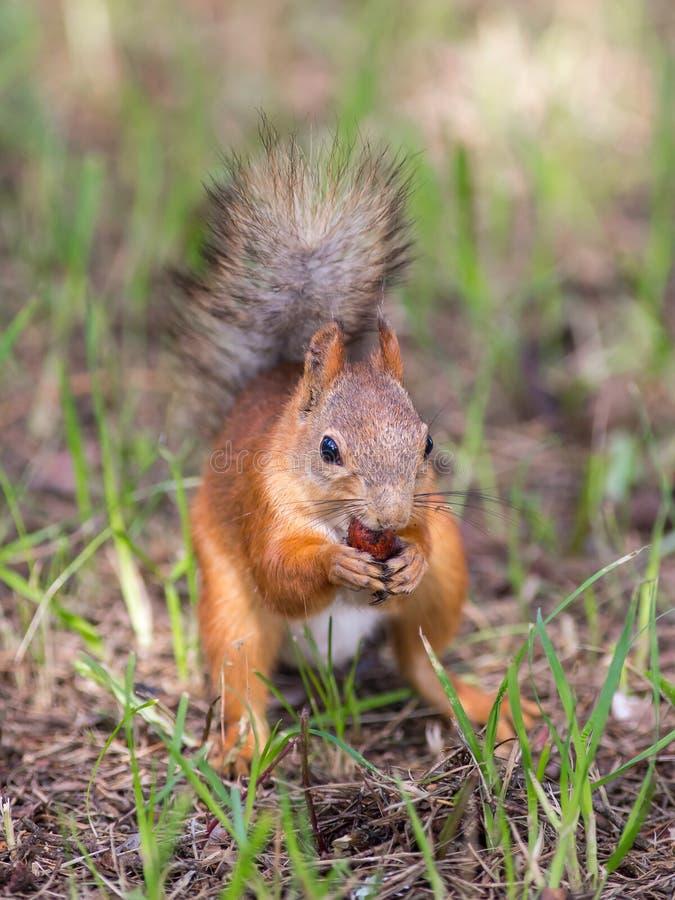 Écureuil rouge mangeant la châtaigne de chêne photographie stock libre de droits