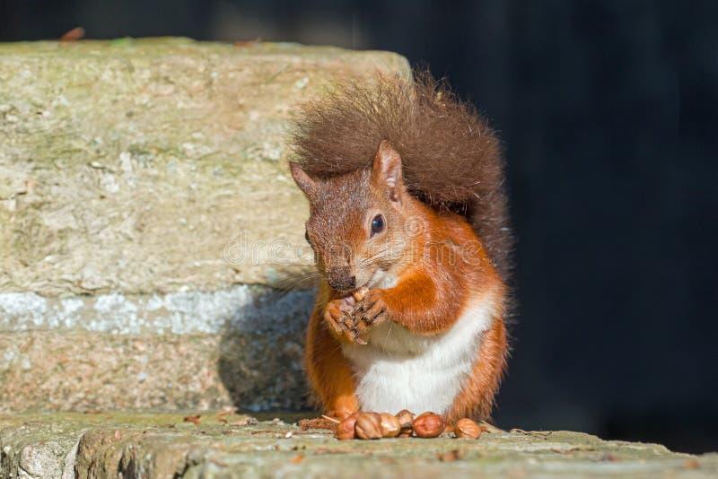 Écureuil rouge mangeant sur le mur photos libres de droits