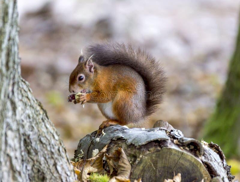 Écureuil rouge mangeant un écrou image libre de droits