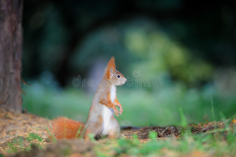 Écureuil rouge mignon curieux semblant droit en au sol de forêt d'automne photographie stock libre de droits