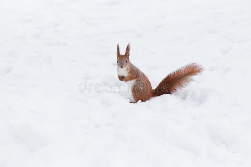 Écureuil rouge mignon dans la forêt d'hiver image libre de droits