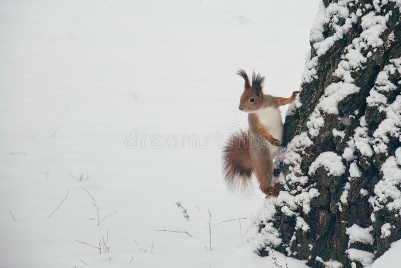 Écureuil rouge mignon regardant la scène d'hiver - photo avec la forêt brouillée gentille à l'arrière-plan photos stock