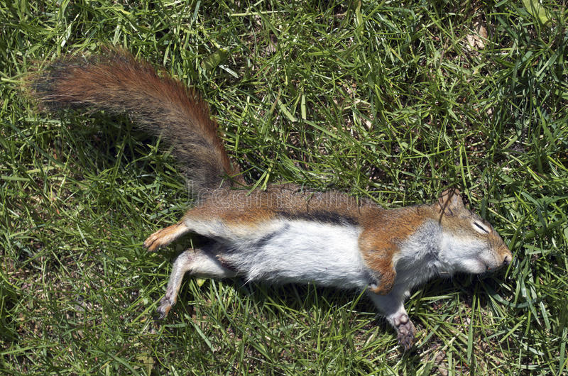 Écureuil rouge mort image libre de droits