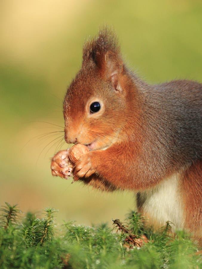 Écureuil rouge (Sciurus vulgaris) image libre de droits