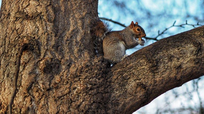 écureuil se reposant sur l'arbre images libres de droits