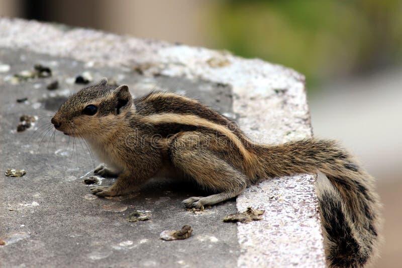 Écureuil se reposant sur le rebord images stock
