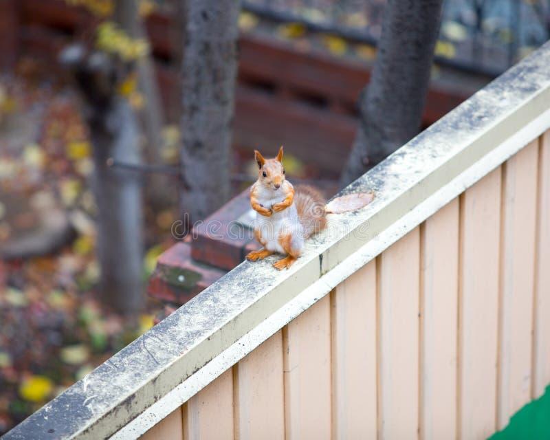 Écureuil sibérien sur la barrière photos libres de droits