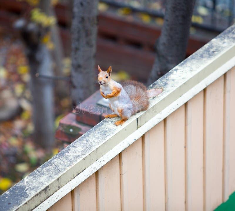 Écureuil sibérien sur la barrière photo libre de droits