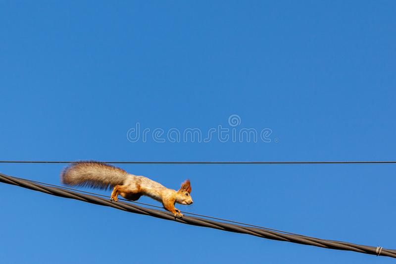 Écureuil sur des lignes électriques image stock