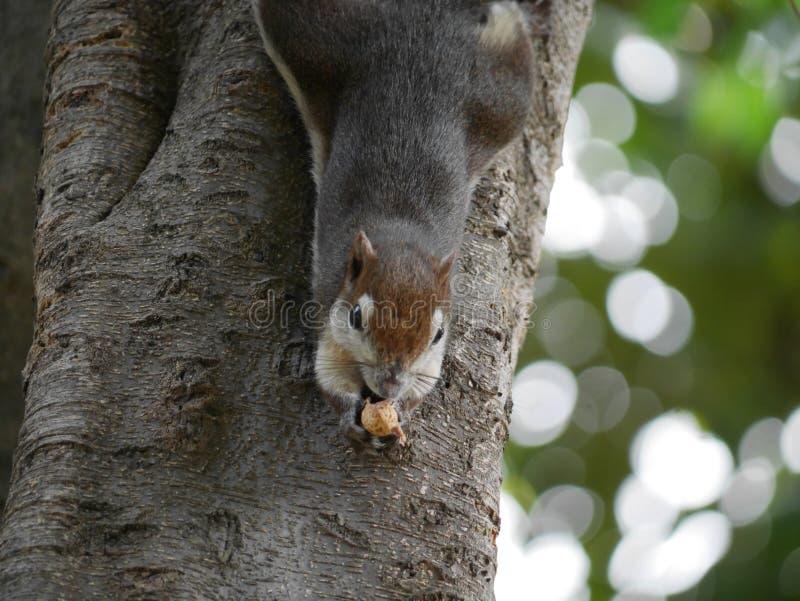 Écureuil sur l'arbre image libre de droits