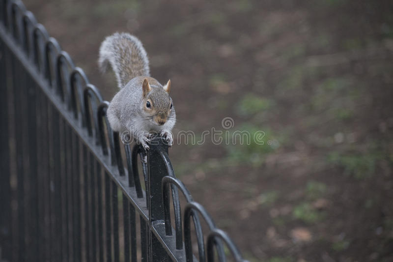 Écureuil sur la balustrade photo stock