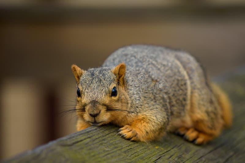 Écureuil sur la barrière photos libres de droits
