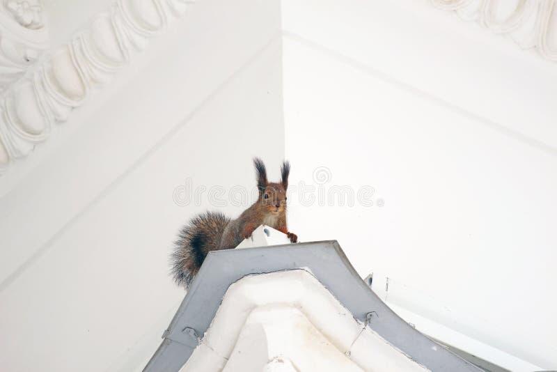 Écureuil sur la corniche de la maison image stock