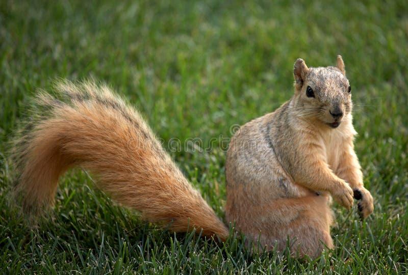 Écureuil sur la pelouse images libres de droits