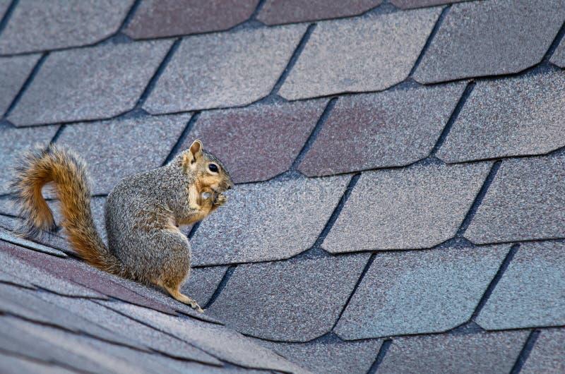 Écureuil sur le toit photo libre de droits
