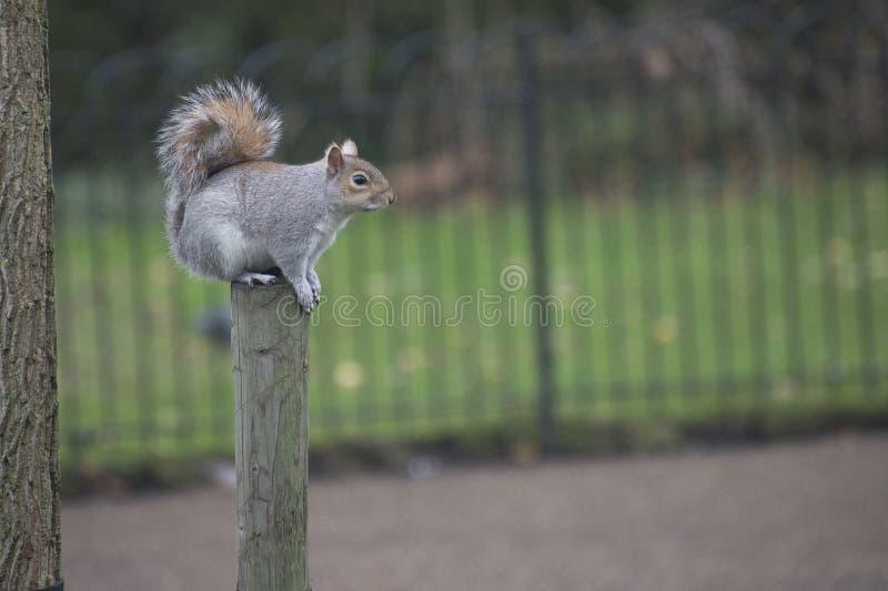 Écureuil sur le tronc photographie stock