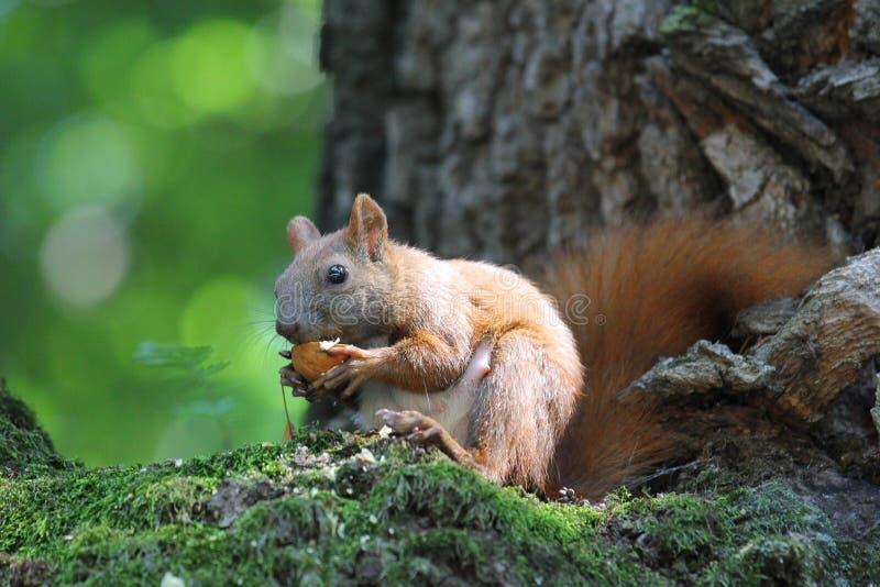 Écureuil sur un arbre images stock