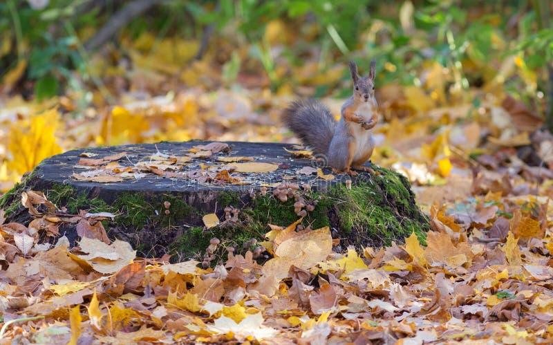 Écureuil sur un tronçon photos libres de droits
