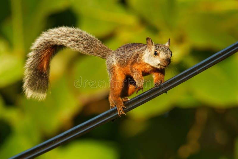 Écureuil varié - les variegatoides de Sciurus est écureuil d'arbre dans le genre sous-espèce du Sciurus quinze trouvée en Costa R photo stock