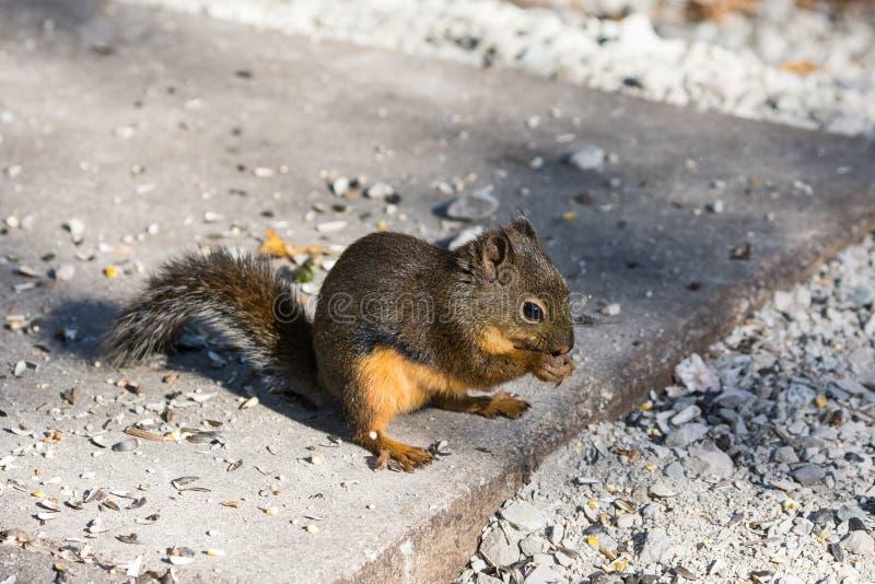 Écureuils de Douglas image libre de droits