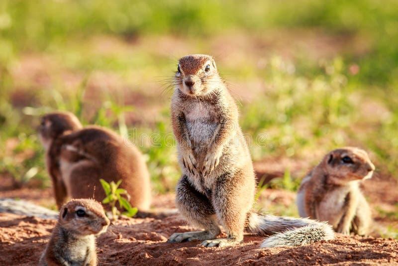 Écureuils moulus dans le sable images libres de droits