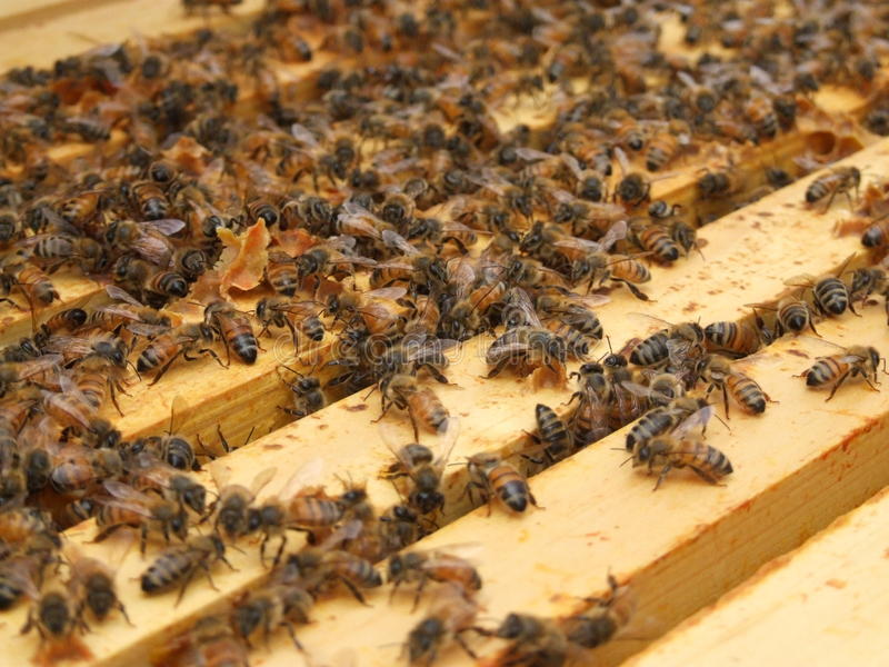 Éducation d'abeille image stock