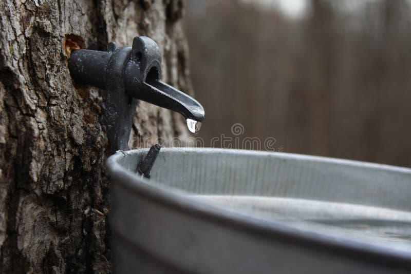 Égoutture de sève d'érable dans un seau en acier photo stock