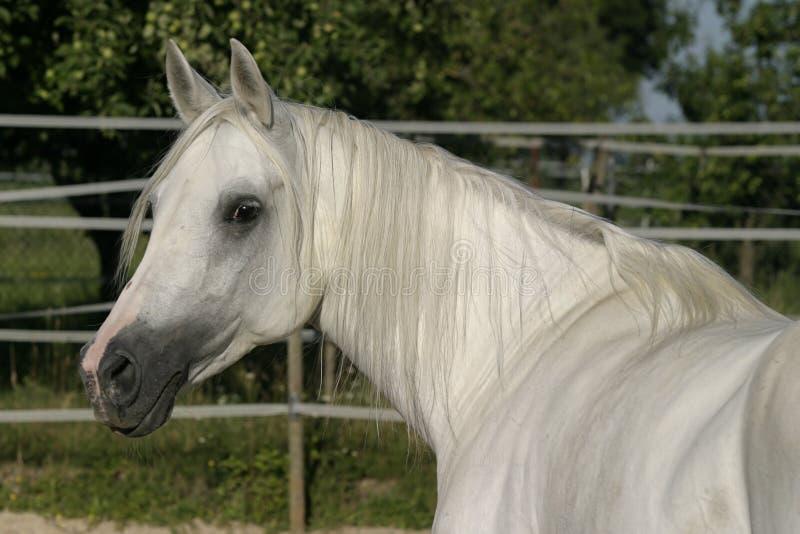 Égua árabe branca foto de stock