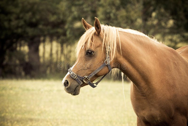 Égua árabe do palomino fotografia de stock royalty free