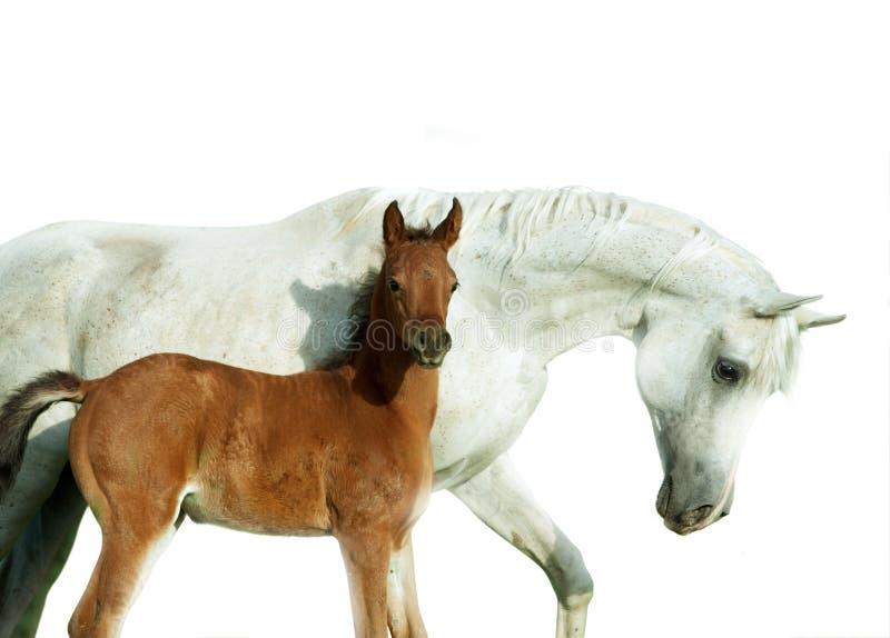 Égua árabe e retrato recém-nascido do potro isolados no branco imagens de stock