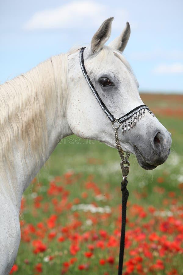 Égua árabe no campo vermelho da papoila que olha o imagens de stock royalty free