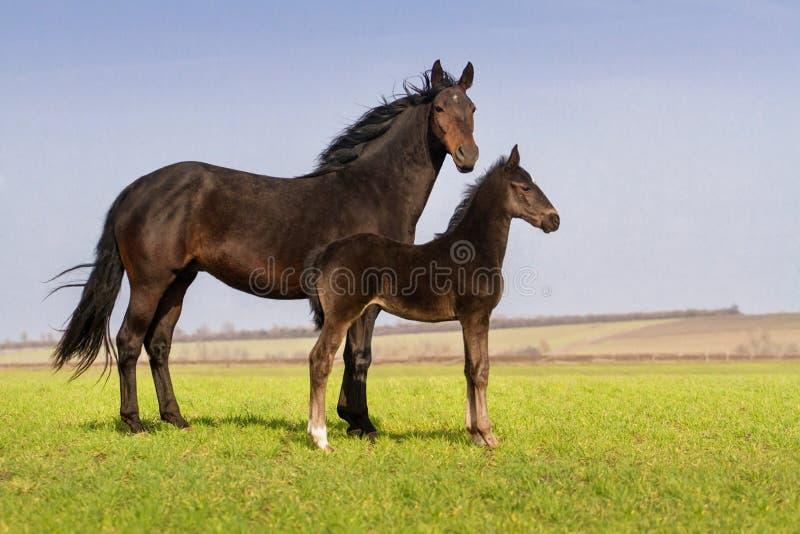 Égua com potro foto de stock royalty free