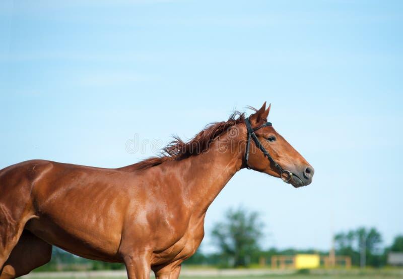 Égua da castanha com sombra fotos de stock royalty free