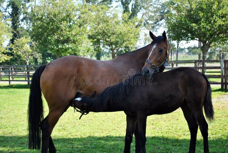 Égua do louro e seu potro fotografia de stock royalty free