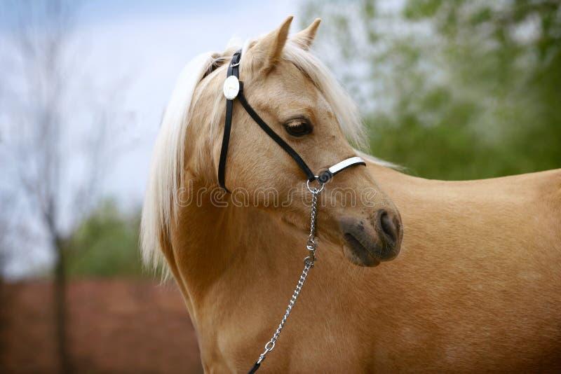 Égua do pônei de galês imagens de stock royalty free